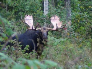 "Zone 1 Maine moose hunting - 60"" bull"